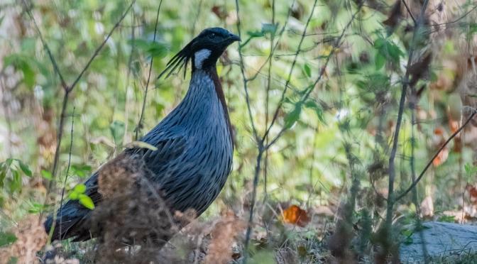Birdwatching in Pangot
